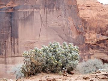 Un cactus dans le Canyon de Chelly.