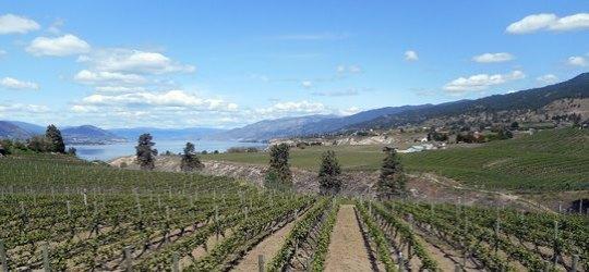 Partout sur les collines entourant le lac Okanagan, la vigne est apparue, donnant aux paysages un lustre européen.