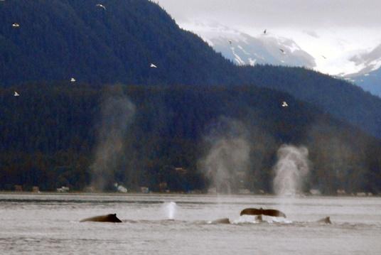 Pendant une demi-heure, une quinzaine de baleines ont tourné autour du catamaran.