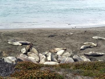 À la Elephant Seal Rookery.