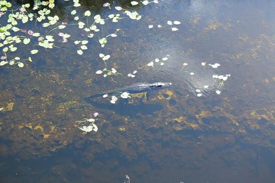 ever-alligator